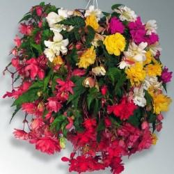 Begonia tuberhybrida 'Illumination F1 mix'