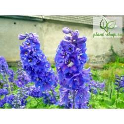 Delphinium cultorum 'Dasante Blue'