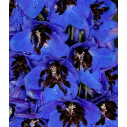 Delphinium cultorum 'Magic Fountain Dark Blue Black Bee'