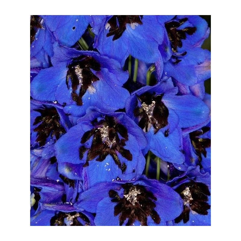 Delphinium cultorum 'Magic Fountain Dark Blue Black Bee'