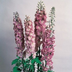 Delphinium cultorum 'Magic Fountain Dark Rose White bee'