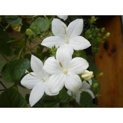 Campanula isophyla Alba