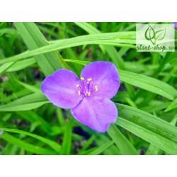 Tradescanthia x andersoniana 'Blue Stone'