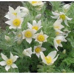 Pulsatilla vulgaris 'Pinwheel White'