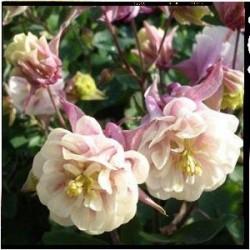 Aquilegia vulgaris 'Winky Double Rose & White'