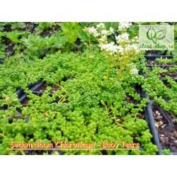 Sedum album 'Chloroticum' Pack 10 plante