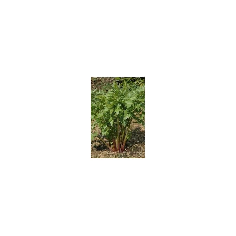 """Leuştean """"Levisticum officinalis"""""""