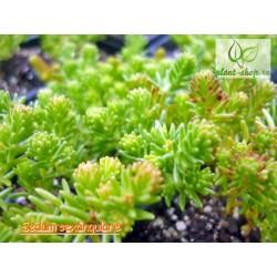 Sedum sexangulare Pack 10 plante
