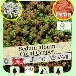 Sedum album 'Coral Carpet' pack 10 plante