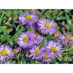 Erigeron speciosus 'Azure Beauty'