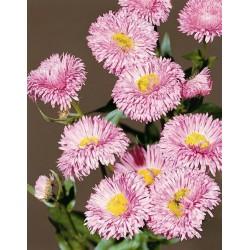 Erigeron speciosus 'Rose Jewel'