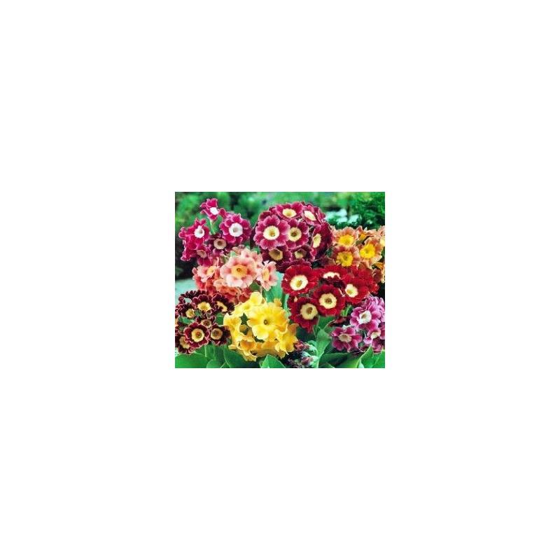 Primula x pubescens mix
