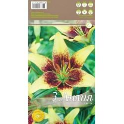 Lilium asiatic 'Latvia'