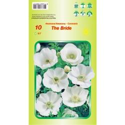Anemone coronaria 'The Bride'