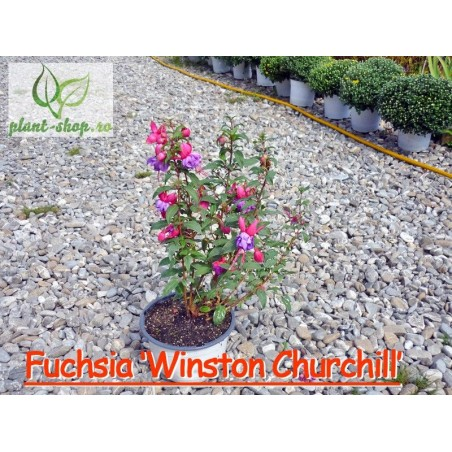 Fuchsia Winston Churchill G-19