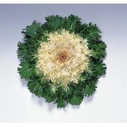 Brassica 'Coral Prince F1'