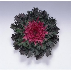 Brassica 'Coral Queen F1'