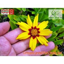 Coreopsis grandiflora 'Rising Sun'