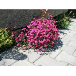 """Dianthus deltoides """"Rose"""""""
