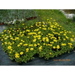 "Doronicum orientale ""Little Leo"""