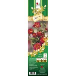 Rosa teahybrid Alinka