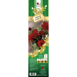 Rosa teahybrid Dame de Coeur