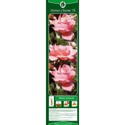 Rosa teahybrid Pariser Charme