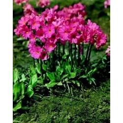 Primula rosea Grandiflora