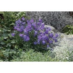 Campanula rotundifolia Samudra Deep Blue G-8
