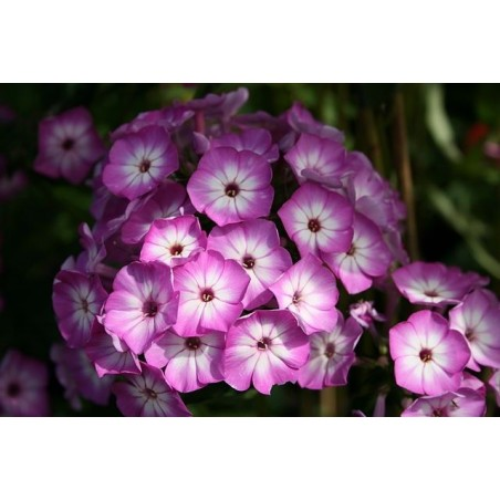 Phlox paniculata 'Flame Purple Eye' G-9
