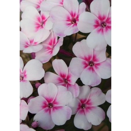 Phlox paniculata 'Flame White Eye' G-9