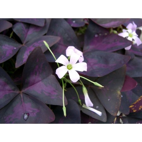 Oxalis triangularis G-9