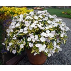 Impatiens Sunpatiens Spreading White G-11