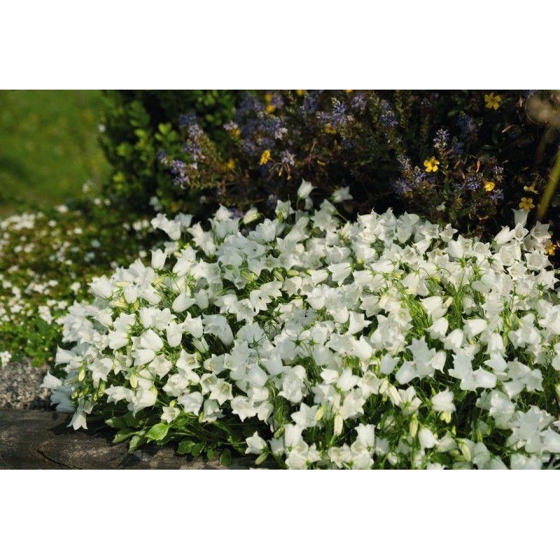 Campanula cochlearifolia Jingle White G-9