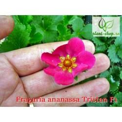 Fragaria ananassa Tristan F1