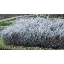 Helychrisum italicum Tall G-9