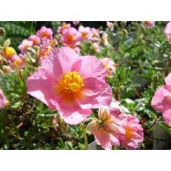 Helianthemum nummularium Lawrenson's Pink G-9