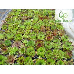 Sempervivum mix Pack 10 plante