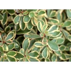 Sedum kamtschaticum Variegatum Pack 10 plante