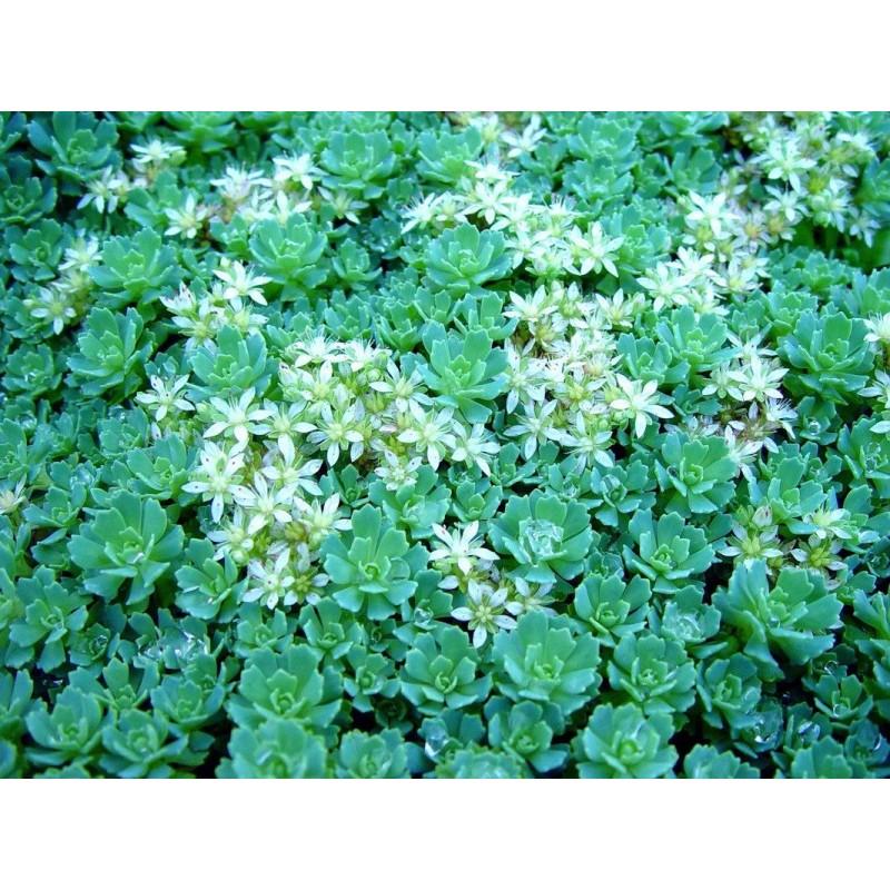 Sedum pachyclados Pack 10 plante