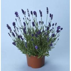 Lavandula angustifolia Essence Purple