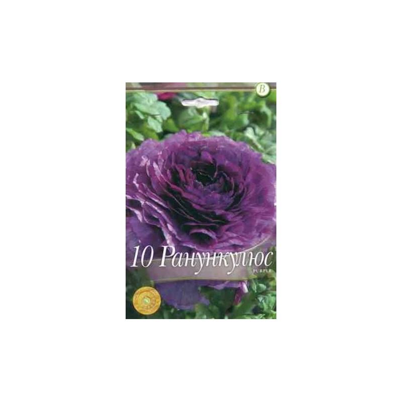 Ranunculus Purple