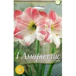 Amaryllis Apple Blossom