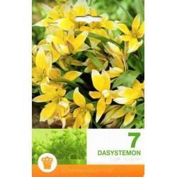 Tulipa botanical Dasystemon