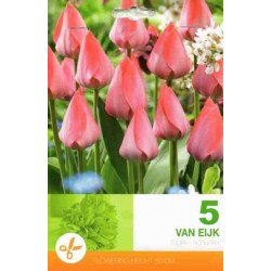 Tulipa Van Eijk
