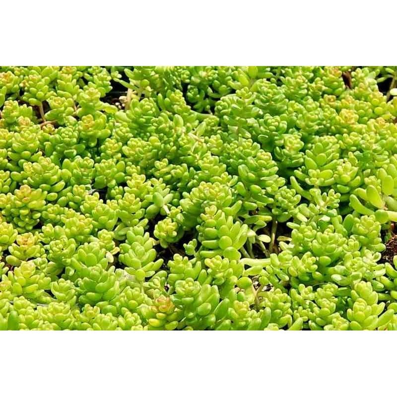 Sedum album Athoum Pack 10 plante