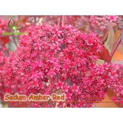 Sedum Amber Red G-9