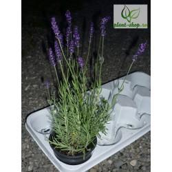 Lavandula angustifolia Ellagance Purple G-12