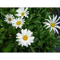 "Leucanthemum maximum ""Silver Princess"""