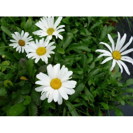 "Leucanthemum maximum ""Silver Princess"""